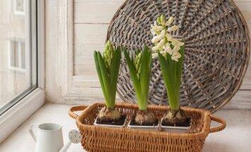 Pirmās hiacintes podiņā – kā laistīt pavasara sīpolpuķes