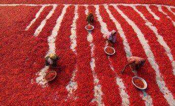 Foto: Sarkanais paklājs jeb Čili ražas vākšana Bangladešā