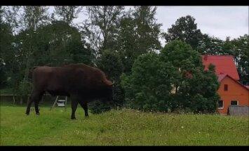 Video: Dagdas novada Bērziņos ierodas sumbrs un sāk ganīties ar vietējām govīm