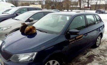 Foto: Divi kaķi sargā apsardzes auto