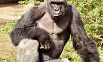 Sinsinati zoodārzā nošauj gorillu, jo tās aplokā iekļuva četrgadīgs zēns