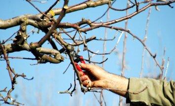 Veco zaru izgriešana: kā pareizi veidot augļu koku vainagu