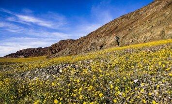 Nāves ielejā uzplaukušas krāšņas pļavas, pārvēršot to 'dzīvības ielejā'