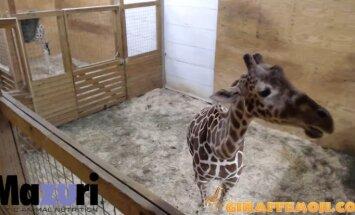 Cilvēki visā pasaulē īpašā tiešraidē nepacietīgi gaida žirafes dzemdības