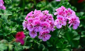Krāšņās vasaras puķes pelargonijas: to audzēšana un uzglabāšana