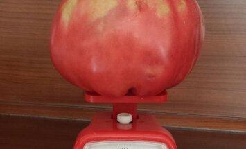'Delfi' lasītāja Carnikavā izaudzējusi kilogramu smagu tomātu