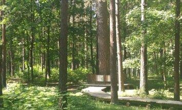 Mežaparka dižpriede – koks, kas aug jau 220 gadus