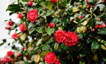 3. decembrī Tukumā notiks seminārs rožu entuziastiem