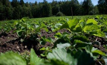 Nevēlamie dārza viesi maijvaboļu kāpuri – tautas metodes to iznīdēšanā