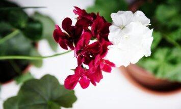 Piecas izplatītākās kļūdas, no dārza ienesot augus iekštelpās