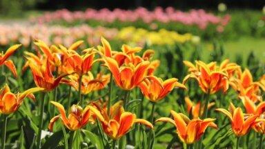 ФОТО. В Национальном ботаническом саду в Саласпилсе расцвело море тюльпанов