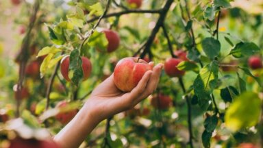 Aicina svinēt vērienīgus ābolu svētkus Dobelē