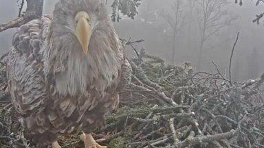 Трагедия в гнезде орланов: самец пропал, самка выбросила птенцов из гнезда