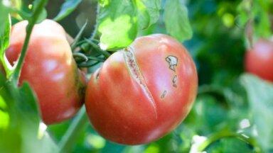Kāpēc tomāti plaisā un vai satraukumam ir pamats?