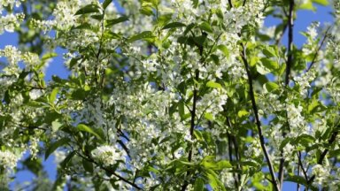 ФОТО. В Риге вовсю цветет черемуха