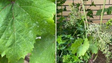 Vīnogulājiem miltrasa: piecas receptes pret nevēlamo kaiti