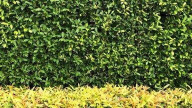 Kāpēc nepieciešams divu slāņu dzīvžogs jeb vēja un putekļu aizsargjoslas veidošana