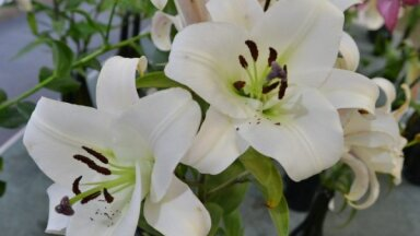 Foto: Reibinošā liliju izstāde Liepājā