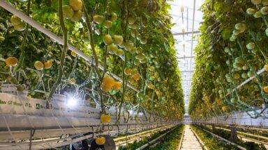 'Getliņi' sākuši novākt jauno tomātu un gurķu ražu