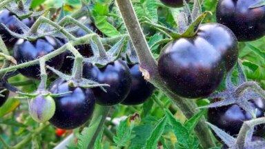 Divas pazīmes, pēc kurām atpazīt gatavu tumšo tomātu