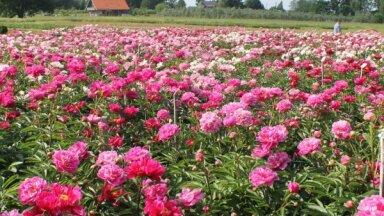 13 dārzi Latvijā, kur baudīt krāšņo peoniju ziedēšanu