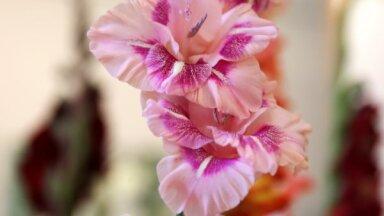Foto: Gladiolu šķēpi visās varavīksnes krāsās
