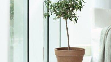 Pelēkzaļais miera un draudzības simbols mājās – olīvkoks