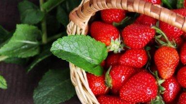 Шесть клубничных полей в Латвии, где можно собрать ягоды самим