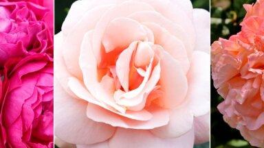 Audzētāji iesaka: 5 izturīgākās un vislabāk pārbaudītās rožu šķirnes