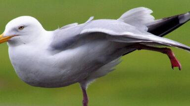 Почему чайки кричат по ночам?