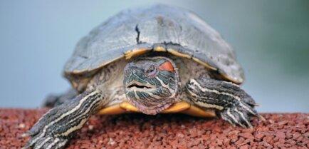 Черепаха в спячке: что надо об этом знать