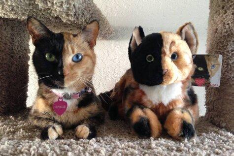 Знакомьтесь — Венус, двуликая кошка-химера с разноцветными глазами