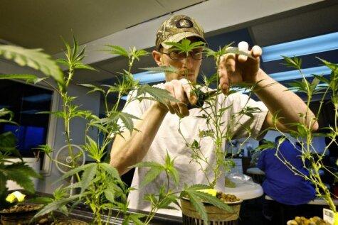 Vašingtona - tagad jau legālās marihuānas štats