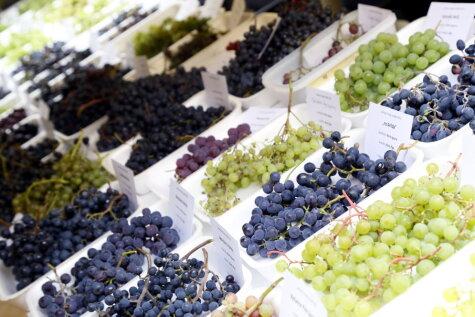 25 фото, которые доказывают, что в Латвии выращивают отличный виноград