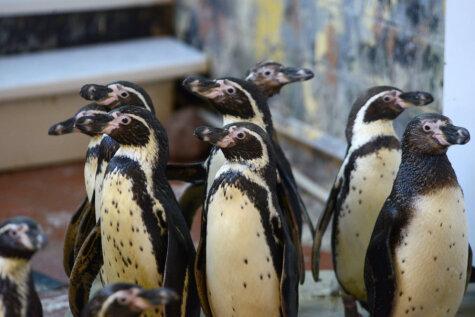 Спешите видеть: в Рижский зоопарк на время приехали 14 пингвинов Гумбольдта