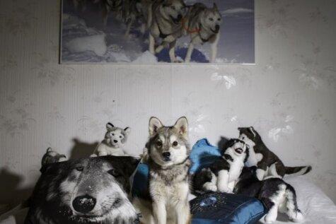 Somu fotogrāfes vīzija: suns ir rītdienas kaķis