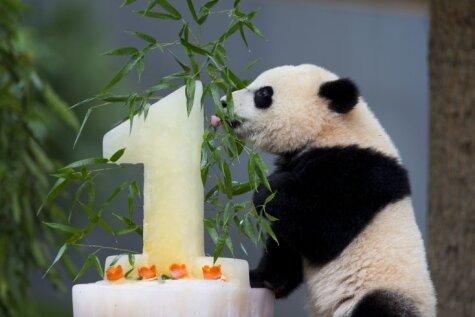 Pandu mazulis Bao Bao sajūsminās par svētku torti
