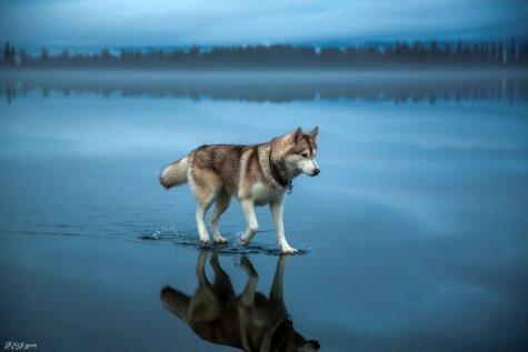 Gandrīz neticams skats – haskiji staigā pa ūdens virsmu