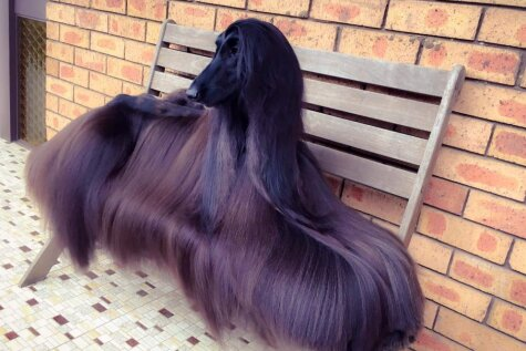 Поиски самой красивой в мире собаки можно считать законченными