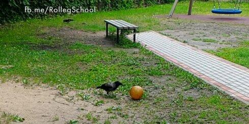 Vārnas spēlē futbolu