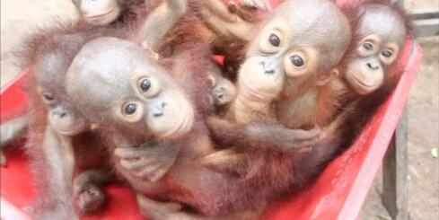 'Orangutānu skola' Indonēzijā palīdz nelaimē nonākušiem pērtiķiem