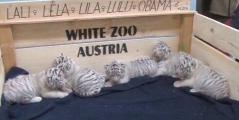 Bez komentāriem: Austrijā zoodārza apmeklētājus priecē pieci balti tīģerēni