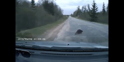 Autovadītājs uz šosejas trenkā bebru