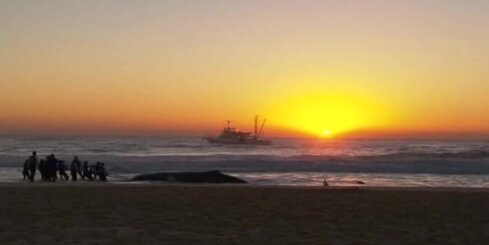 Austrālijā izglābj krastā izskalotu vali