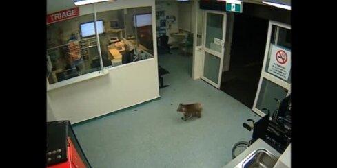 Austrālijā koala apmaldās slimnīcā