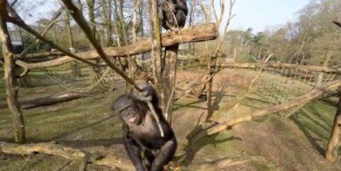 Nīderlandē pērtiķis notriec dronu