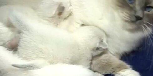 Svētie Birmas kaķi baltās zeķītēs