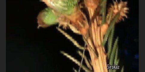 Sāk ziedet svetku eglite