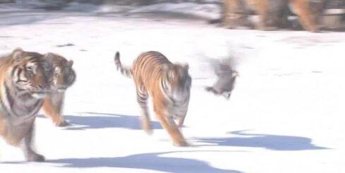 Ķīnā tīģeri ķersta dronu