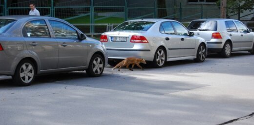 Rīgas centrā klaiņo lapsa